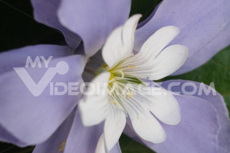 Fantasia di fiori. Floral decoration with cerastium and purple periwinkle. Foto stock royalty free. - MyVideoimage.com | Foto stock & Video footage