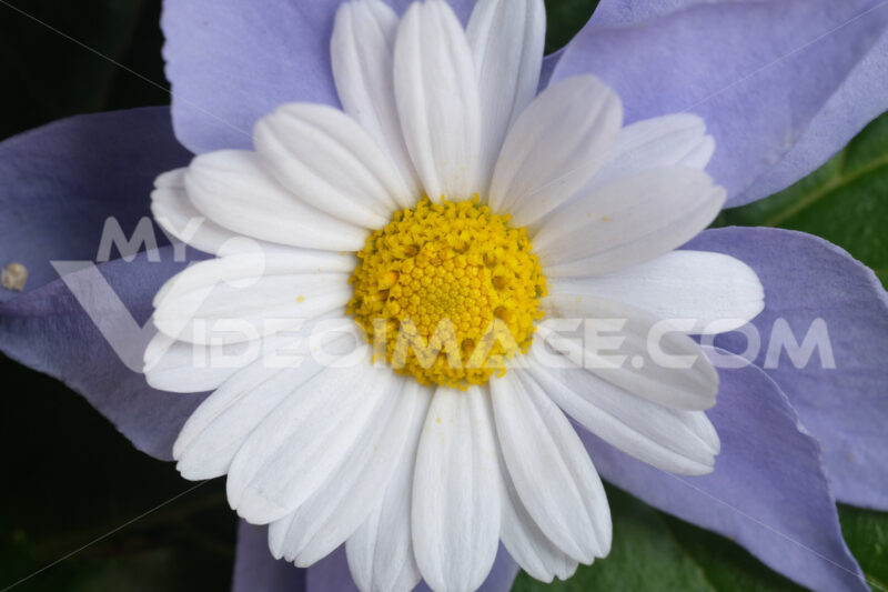 Fantasy flower. Floral decoration with daisy and purple periwinkle. Stock photos. - MyVideoimage.com | Foto stock & Video footage