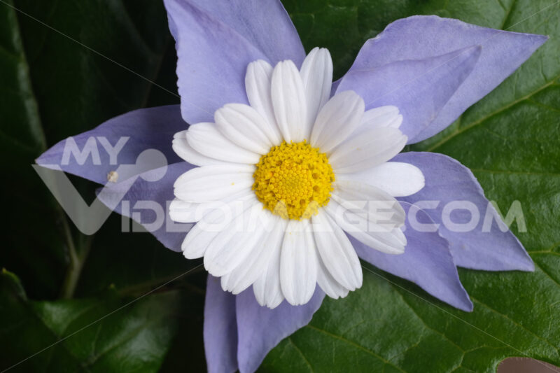 Flora decoration. Floral decoration with daisy and purple periwinkle. Stock photos. - MyVideoimage.com | Foto stock & Video footage