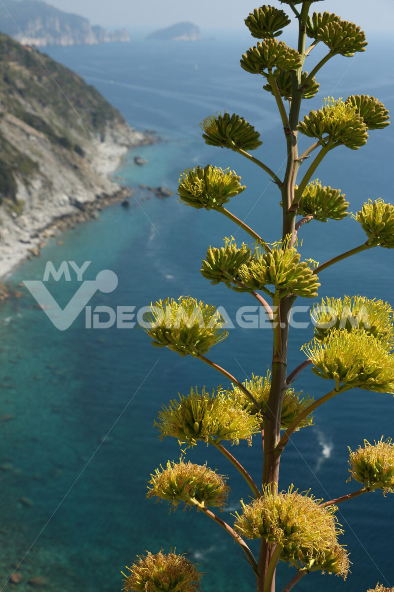 Flower of the Agave plant on the hills of the Cinque Terre in Liguria. Background of mountains overlooking the sea. - MyVideoimage.com