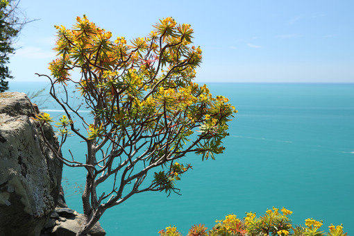 Flowered euphorbia bush against the background of the Cinque Terre sea. - MyVideoimage.com