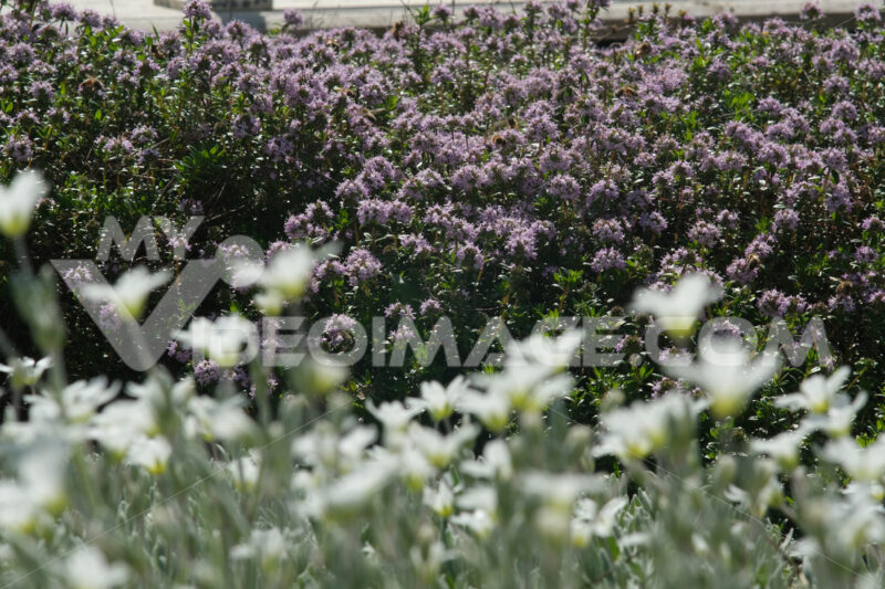 Flowering bush of thyme with bees sucking nectar. Spring flowering in an Italian garden in Liguria. - MyVideoimage.com