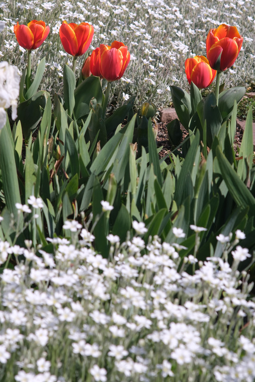 Flowering in the Mediterranean garden. Orange tulips and cerastium flowers. - MyVideoimage.com