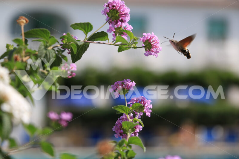 Flying bee sucks nectar from pink Lantana flowers. Stock photo royalty free. Foto di fiori - MyVideoimage.com | Foto stock & Video footage
