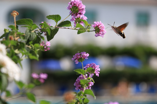 Flying bee sucks nectar from pink Lantana flowers. Stock photo royalty free. Foto di fiori - MyVideoimage.com