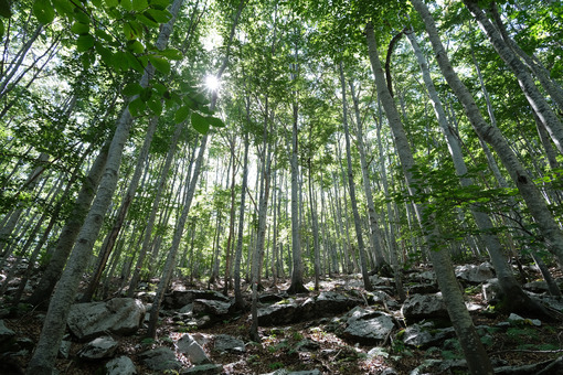 Forest light. Forest of trees with rays of sunlight that illuminate. Stock photos. - MyVideoimage.com | Foto stock & Video footage