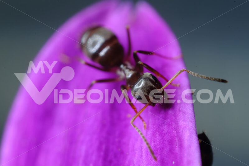 Formica su fiore viola. Ant on a purple red flower petal. Foto stock royalty free. - MyVideoimage.com | Foto stock & Video footage