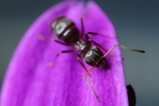 Formica su fiore viola. Ant on a purple red flower petal. Foto stock royalty free. - MyVideoimage.com   Foto stock & Video footage
