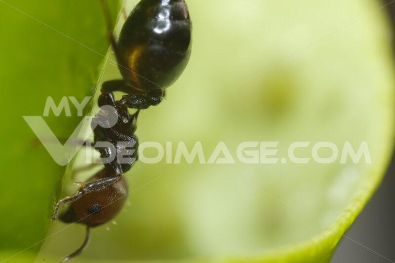 Formica su una foglia. Ant on a plant leaf, close up macro shot. Foto stock royalty free. - MyVideoimage.com | Foto stock & Video footage