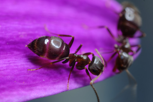 Formiche su fiore. Ants on a purple red flower petal. Foto stock royalty free. - MyVideoimage.com   Foto stock & Video footage