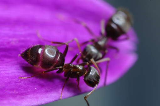 Formiche. Ants on a purple red flower petal. Foto stock royalty free. - MyVideoimage.com   Foto stock & Video footage