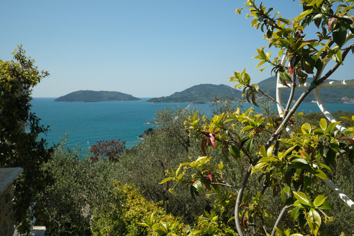 Garden with climbing plants of rincospermum on the Ligurian sea. Gulf of La Spezia near the Cinque Terre. Olive plants. - MyVideoimage.com