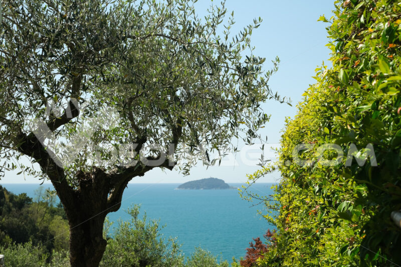 Garden with climbing plants of rincospermum on the Ligurian sea. Gulf of La Spezia near the Cinque Terre. Olive plants. - MyVideoimage.com | Foto stock & Video footage