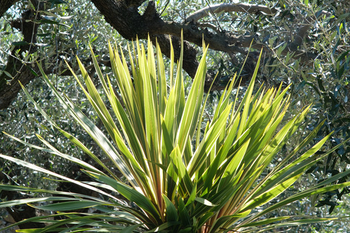 Garden with dracaena plant with leaves blowing in the wind. Plants in spring in a Mediterranean garden. - LEphotoart.com