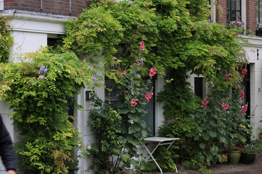Glicine rampicante. Wisteria climbing plant on the brick facade of a house. Red flowers. Amsterdam. - MyVideoimage.com | Foto stock & Video footage