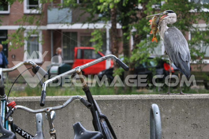 Gray Heron  with fish in its beak. Amsterdam canals background. In the foreground a bicycle. - MyVideoimage.com