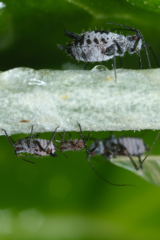Gray aphids. Gray aphid of the stem of a plant. Stock photos. - MyVideoimage.com | Foto stock & Video footage