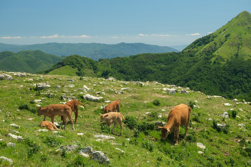 Grazing calves. Calves on a green meadow in the mountains of Tuscany.  Stock photos. - MyVideoimage.com | Foto stock & Video footage