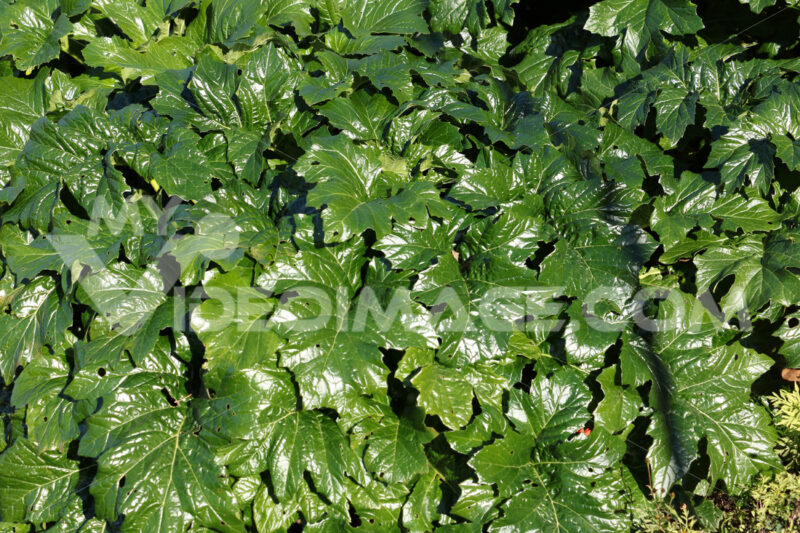 Green acanthus leaves - MyVideoimage.com