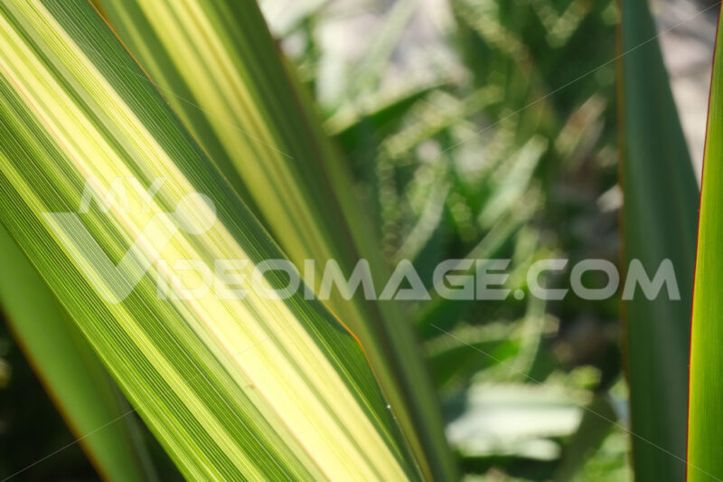 Green and yellow variegated Formium (Phormium) leaves. Detail photography of a lanceolate leaf. - MyVideoimage.com