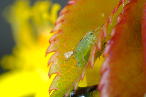 Green aphid. Green aphid on a small leaf of a rose. Stock photos. - MyVideoimage.com   Foto stock & Video footage
