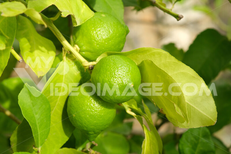 Green ripe organic lemon fruits on the plant. High in antioxidants and vitamins. - MyVideoimage.com