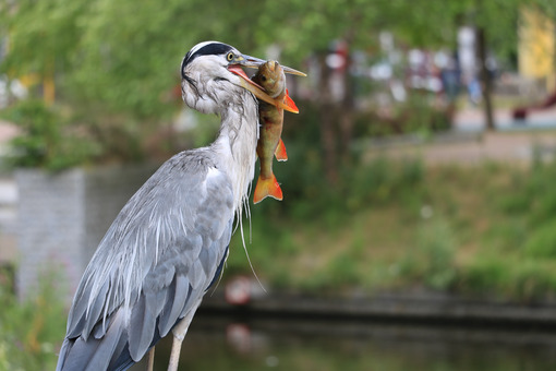Heron with fish. Gray Heron  with fish in its beak. Amsterdam canals background. - MyVideoimage.com | Foto stock & Video footage