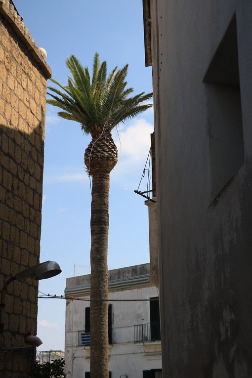 High palm plant within the walls of a narrow street on the Island of Ischia, near Naples. - MyVideoimage.com | Foto stock & Video footage