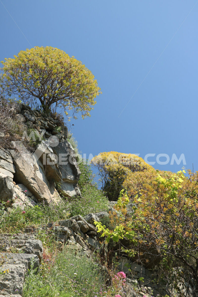Hills of the Cinque Terre with typical Mediterranean vegetation. Euphorbia. - LEphotoart.com