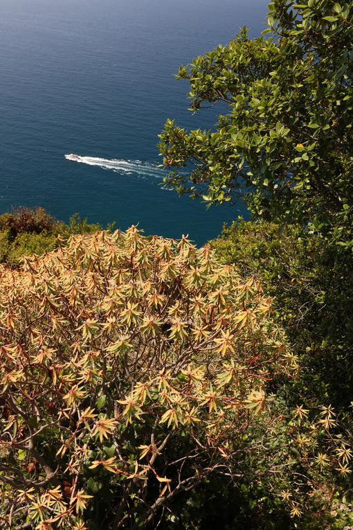 Hills of the Cinque Terre with typical Mediterranean vegetation. Euphorbia. Sea with motorboat trail. - LEphotoart.com