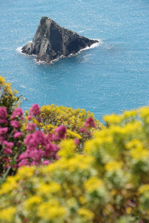 Hills of the Cinque Terre with typical Mediterranean vegetation. Euphorbia. Sea with motorboat trail. Foto fiori. - MyVideoimage.com