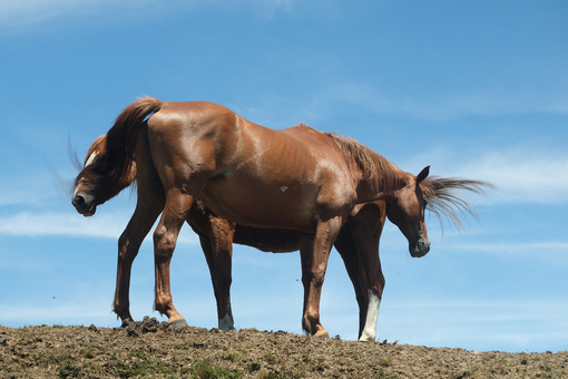 Horses and blue sky. Horses on top of the mountain with blue sky background. Stock photos. - MyVideoimage.com | Foto stock & Video footage