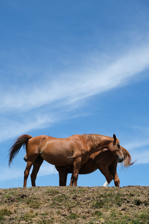 Horses under the sky. Horses on top of the mountain with blue sky background. Stock photos. - MyVideoimage.com | Foto stock & Video footage