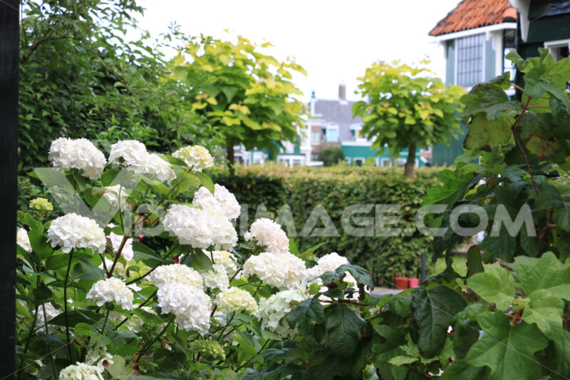 Hydrangea bush. Hydrangea bush with white flowers in a garden. In the background - MyVideoimage.com | Foto stock & Video footage