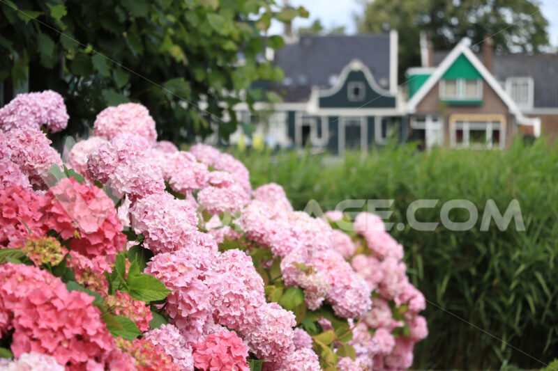 Hydrangea. Hydrangea bush with white flowers in a garden. In the background - MyVideoimage.com | Foto stock & Video footage