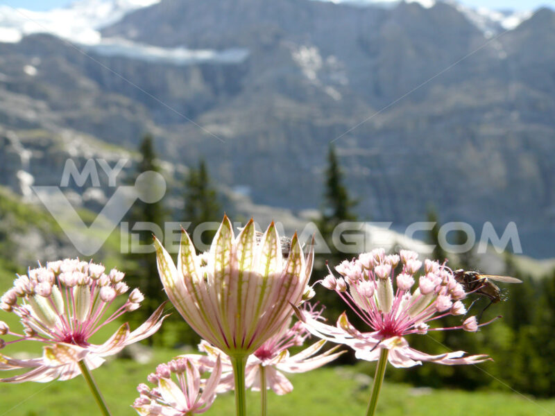 Insect on mountain flowers - MyVideoimage.com