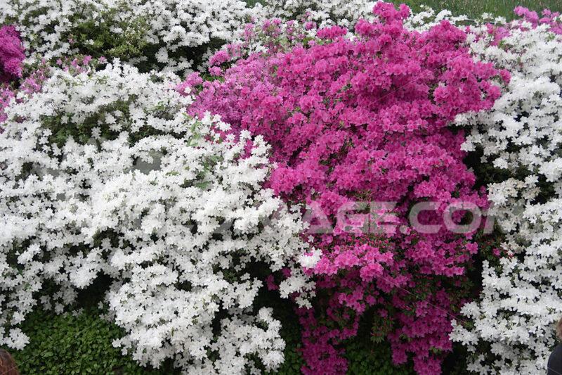 Japanese Azalea flowers. - MyVideoimage.com
