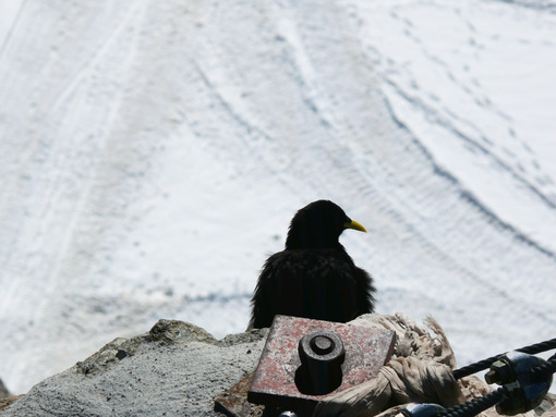 Jungfrau, Switzerland. An alpine chough - MyVideoimage.com