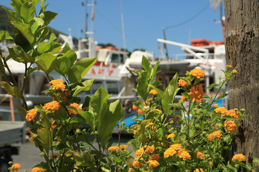 Lantana Camara and lemon plant at the Port of Ischia. In the background the anchored boats. - MyVideoimage.com