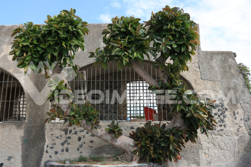 Large Ficus plant in the Mediterranean island of Ischia, near Na - MyVideoimage.com
