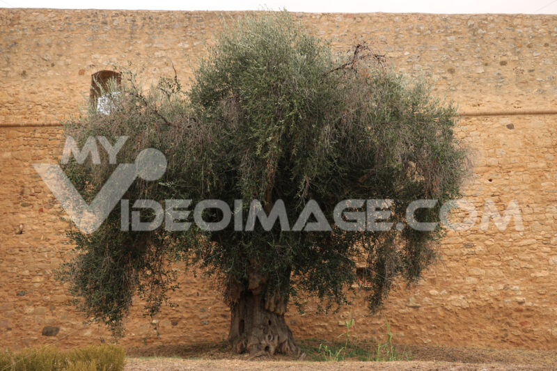 Large and ancient olive tree. In the background stone wall of the town of Magliano in Toscana. - MyVideoimage.com | Foto stock & Video footage