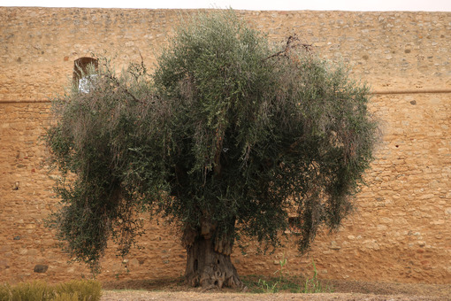 Large and ancient olive tree. In the background stone wall of the town of Magliano in Toscana. - MyVideoimage.com