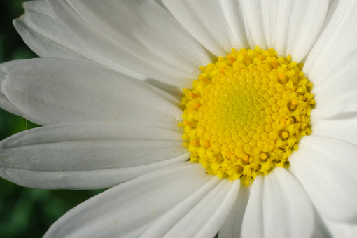 Large white and yellow daisy flower. Macro. - MyVideoimage.com