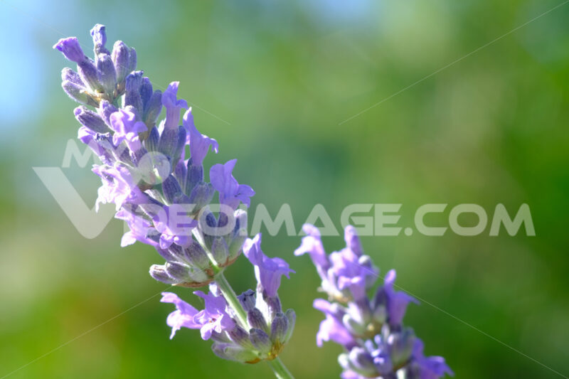 Lavender flower Purple lavender flower. Stock photos. - MyVideoimage.com | Foto stock & Video footage