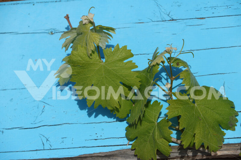 Leaves of a vide plant against the background of a blue colored wooden wall. - MyVideoimage.com