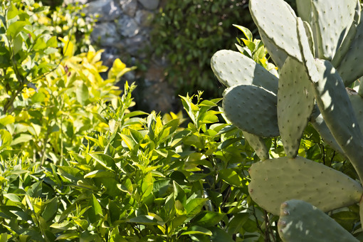 Lemon plant with prickly pear cactus - MyVideoimage.com