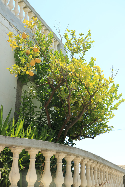 Lemons plant on home balcony. Cultivation of citrus fruits in a - MyVideoimage.com