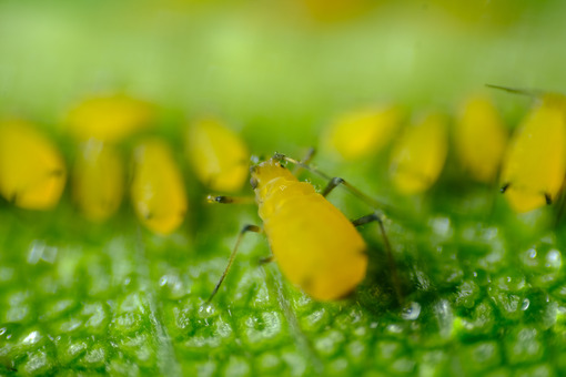 Lice on plant. Yellow aphids on a leaf suck the sap of the plant. Stock photos. - MyVideoimage.com   Foto stock & Video footage