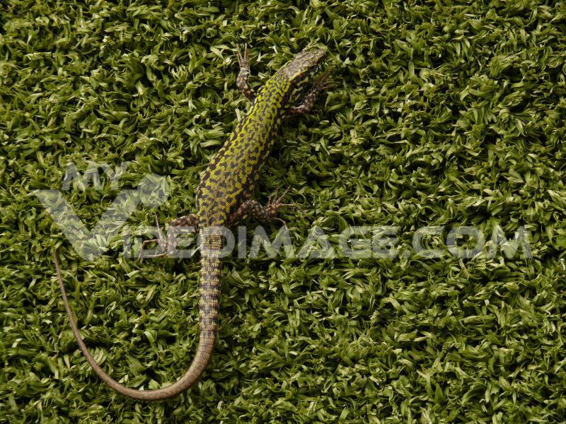 Lizard on a fake green plastic lawn. - MyVideoimage.com