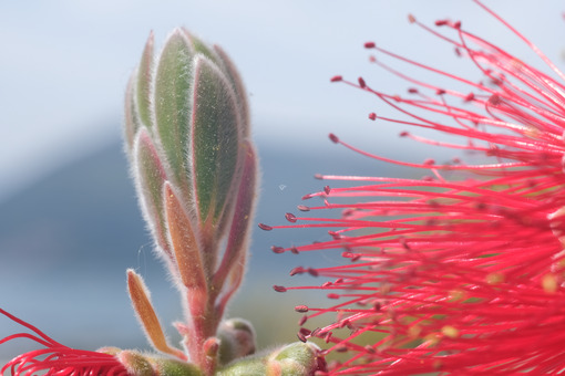 Macro Photo of Callistemon flowers in a garden overlooking the Ligurian sea. Spikes of red flowers in spring with the background of the sea. - MyVideoimage.com